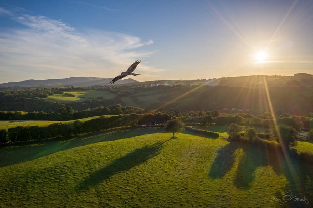 Kite over Co. Wicklow
